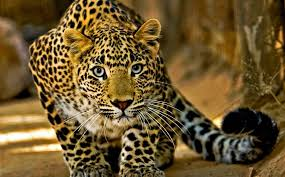Leopard walking toward